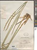 view Leymus angustus (Trin.) Pilg. digital asset number 1