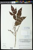 view Allophylus semidentatus (Miq.) Radlk. digital asset number 1