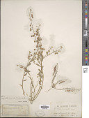 view Lesquerella recurvata (Englem. ex A. Gray) S. Watson digital asset number 1