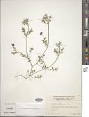 view Nemophila menziesii Hook. & Arn. digital asset number 1