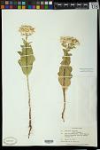 view Euphorbia marginata Pursh digital asset number 1