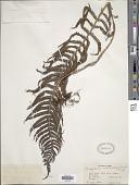 view Pseudocyclosorus ochthodes (Kunze) Holttum digital asset number 1