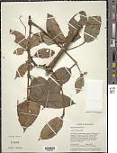 view Clusiella elegans Planch. & Triana digital asset number 1