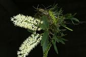 view Dendrobium speciosum Sm. digital asset number 1