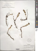 view Sedum rosea subsp. integrifolium (Raf.) Hultén digital asset number 1