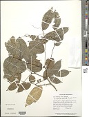view Zygia latifolia var. lasiopus (Benth.) Barneby & J.W. Grimes digital asset number 1