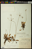 view Helanthium bolivianum (Rusby) Lehtonen & Myllys digital asset number 1