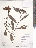 view Stanfieldiella imperforata var. glabrisepala (De Wild.) Brenan digital asset number 1