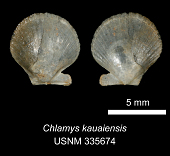 view Chlamys kauaiensis digital asset number 1