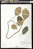view Cremosperma castroanum C.V. Morton digital asset number 1