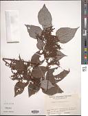 view Boehmeria nivea (L.) Gaudich. digital asset number 1