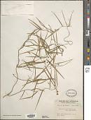 view Eustrephus angustifolius R. Brown digital asset number 1
