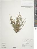 view Carex digitalis Willd. var. digitalis digital asset number 1