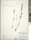 view Gentianella propinqua (Richardson) J.M. Gillett digital asset number 1