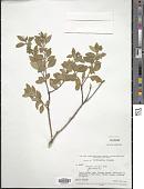 view Monnina salicifolia Ruiz & Pav. digital asset number 1