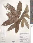 view Endlicheria multiflora (Miq.) Mez digital asset number 1