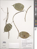 view Tinospora merrilliana Diels digital asset number 1