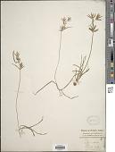 view Cyperus rotundus L. digital asset number 1