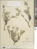 view Astragalus vexilliflexus E. Sheld. digital asset number 1
