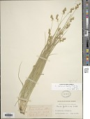 view Carex brevior (Dewey) Mack. ex Lunell digital asset number 1