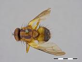 view Dichaetomyia dubia digital asset number 1