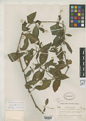 view Alternanthera williamsii f. purpurea Standl. digital asset number 1