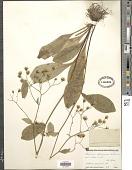 view Hieracium x marianum Willd. digital asset number 1
