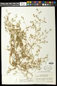 view Euphorbia parryi Engelm. digital asset number 1