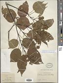 view Sinoadina racemosa (Siebold & Zucc.) Risdale digital asset number 1