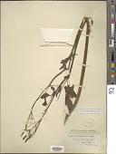 view Osmorhiza occidentalis (Nutt.) Torr. digital asset number 1
