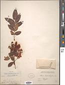 view Schinus terebinthifolia Raddi digital asset number 1