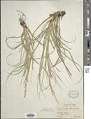 view Carex cherokeensis Schwein. digital asset number 1