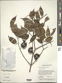 view Myrciaria dubia (Kunth) McVaugh digital asset number 1