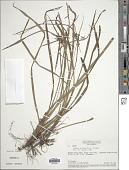 view Cyperus lacustris Schrad. ex Nees digital asset number 1
