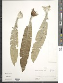 view Espeletiopsis meridensis (Cuatrec.) Cuatrec. digital asset number 1