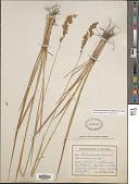 view Patzkea paniculata subsp. spadicea (L.) G. H. Loos & B. Bock digital asset number 1