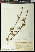 view Dioscorea ceratandra Uline digital asset number 1