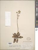 view Micranthes mexicana (Engl. & Irmsch.) Brouillet & Gornall digital asset number 1