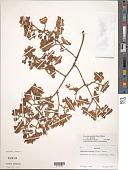 view Sterculia apetala (Jacq.) H. Karst. var. apetala digital asset number 1