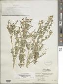view Astragalus lentiginosus var. diphysus (A. Gray) M.E. Jones digital asset number 1