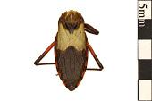 view Assassin Bug, Kissing Bug, Assassin Bug digital asset number 1