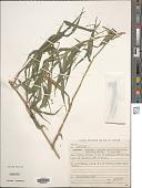 view Lasiacis sorghoidea (Desv. ex Ham.) Hitchc. & Chase digital asset number 1