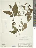 view Justicia leptophylla Leonard digital asset number 1