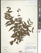 view Mouriri parvifolia Benth. digital asset number 1