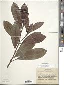 view Psychotria colarensis digital asset number 1