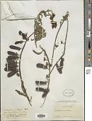 view Crotalaria retusa L. digital asset number 1