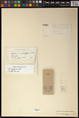 view Arthonia subdiffusa Willey digital asset number 1
