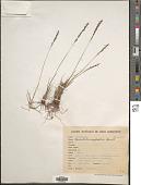 view Sporobolus pilifer (Trin.) Kunth digital asset number 1