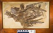 view Cimolichthys nepaholica (Cope, 1872) digital asset number 1