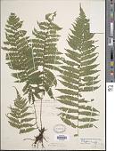 view Parathelypteris simulata (Davenp.) Holttum digital asset number 1